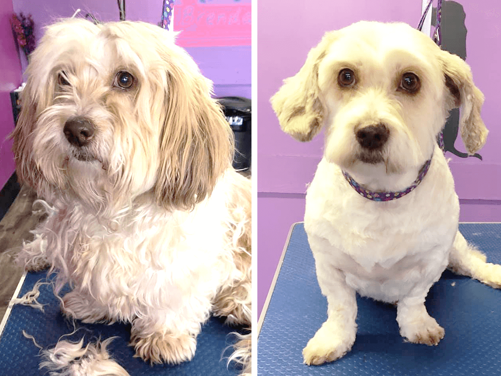 Picture 3 of a dog before & after grooming