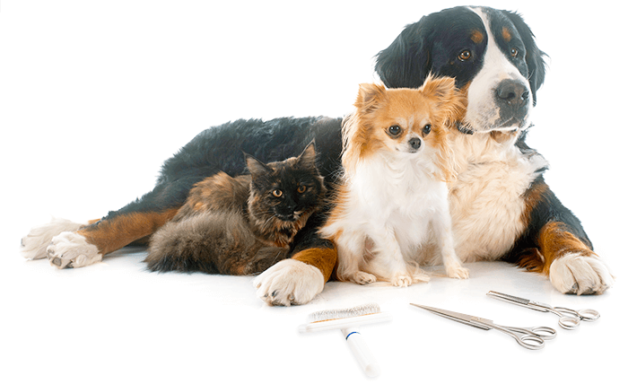 Picture of a Maine Coon cat, a Chihuahua and a Bernese Mountain dog ready to be groomed