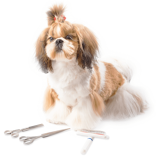 Picture of a professionally groomed Shih-Tzu and some pet grooming tools at its feet