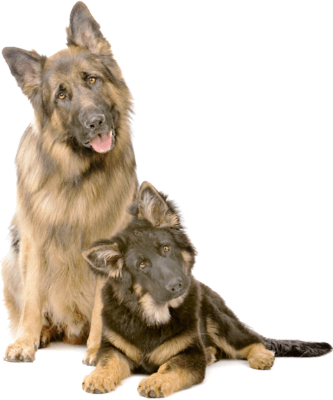 Picture of two well-groomed German Shepherd looking intrigued